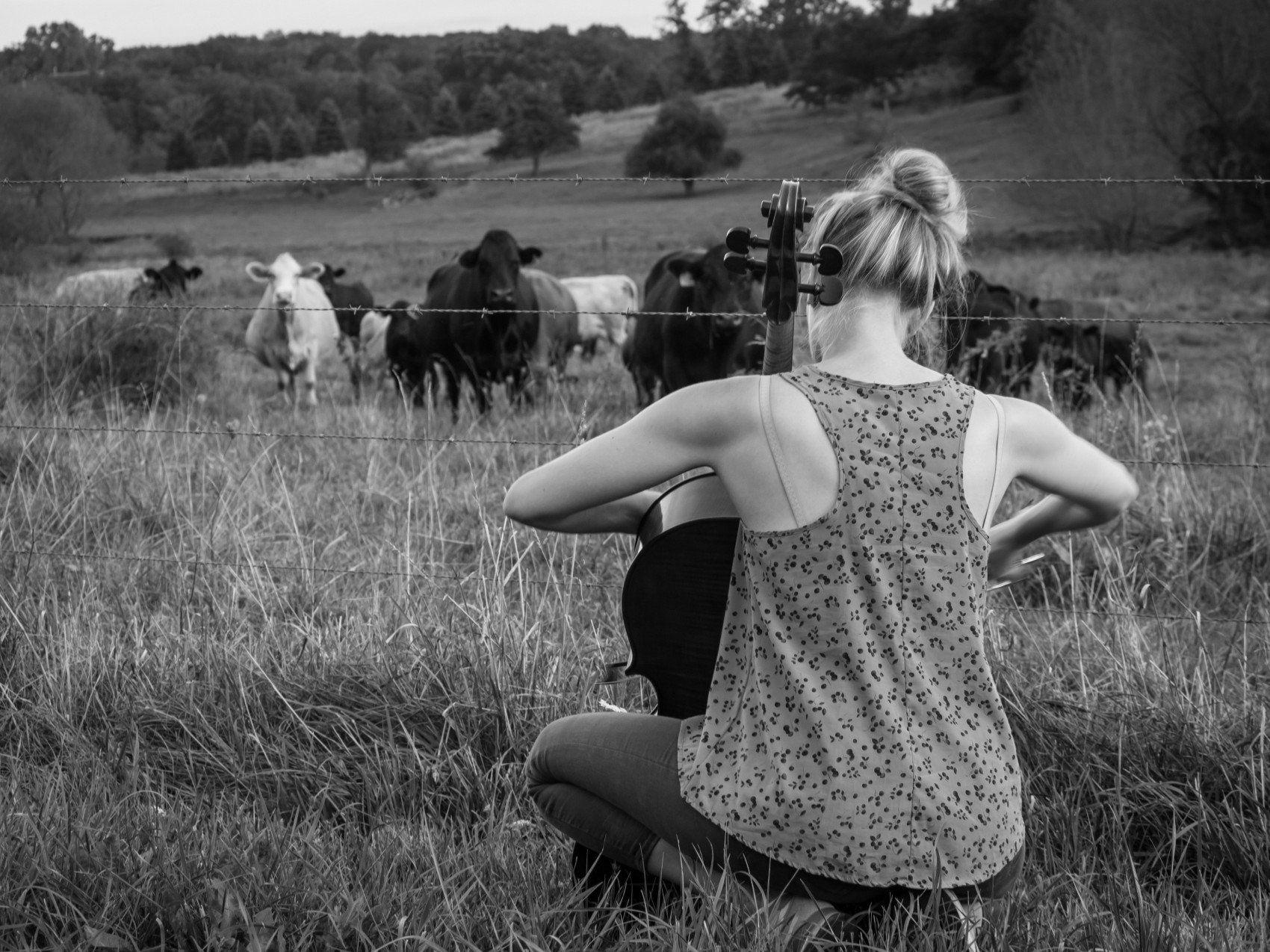 piacello - cows